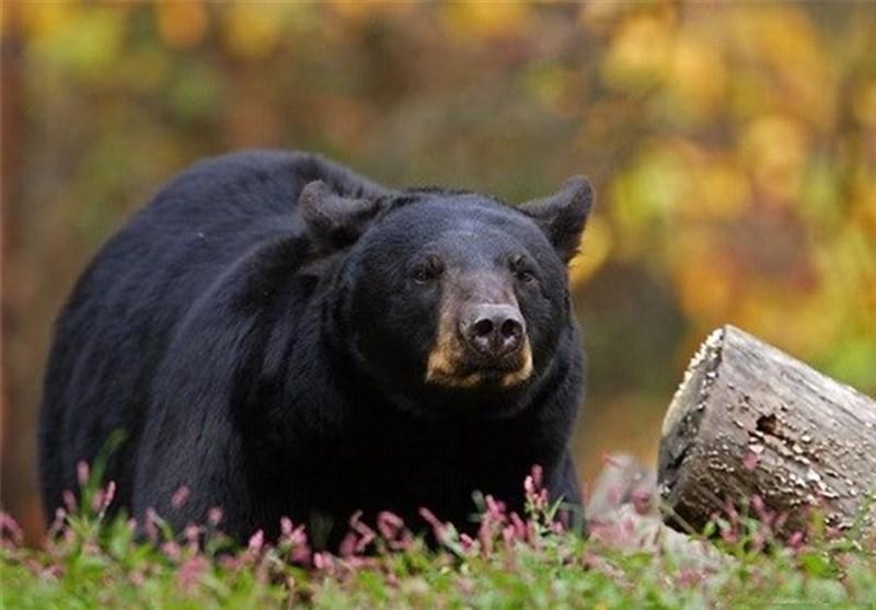 جادهسازی در زیستگاه (دهبکری بم) خرس سیاه آسیایی متوقف شد