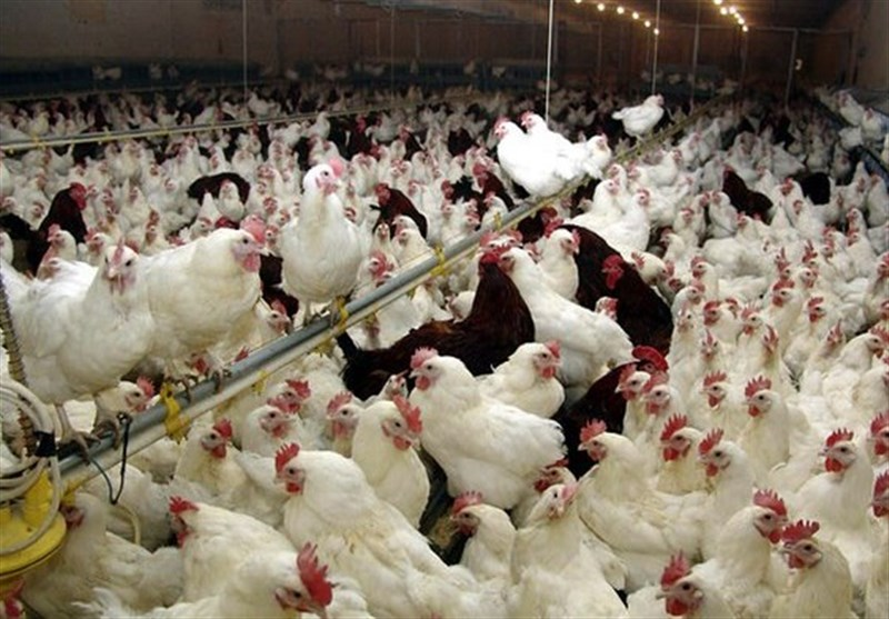 شایعات شیوع آنفلوآنزای پرندگان در کرمان صحت ندارد