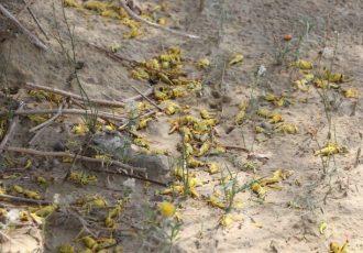 تعداد روستاهای مورد تهدید هجوم ملخها رو به افزایش است