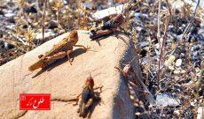 تشریح وضعیت مبارزه با ملخهای صحرایی در استان کرمان