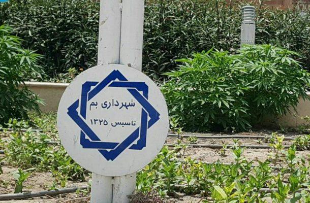 تکذیب کشت ماریجوانا / هدف قرار دادن حیثیت و آبروی شهروندان بمی توسط عدهای مغرض