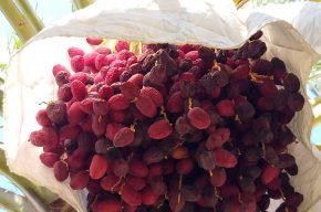 نابودی ۵۰ درصد محصول خرما در برخی از مناطق استان کرمان/بخشی از خسارات را جبران میکنیم